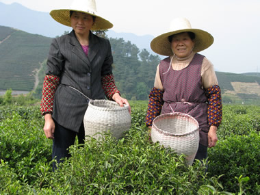 Long Jing Tea Pickers